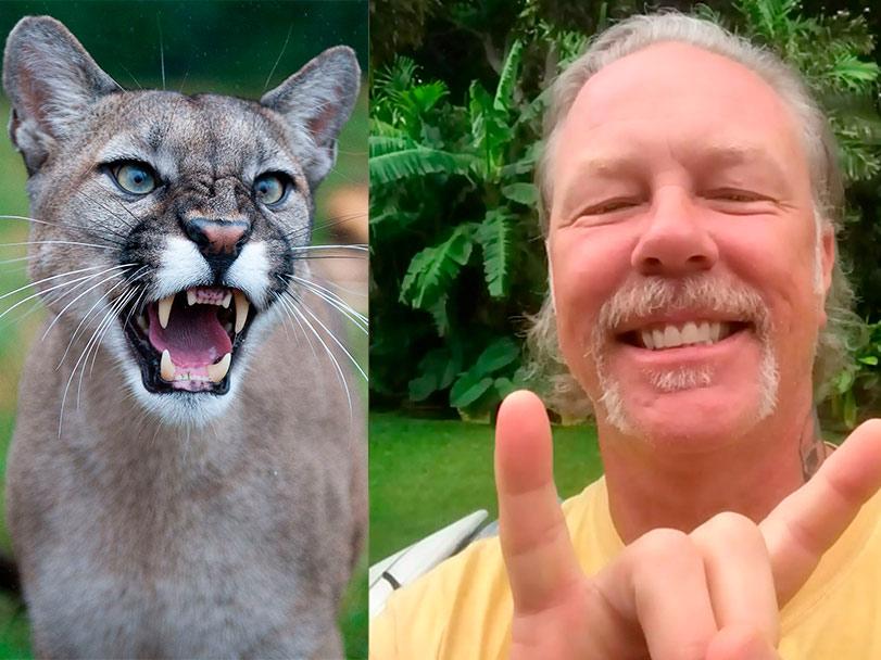 Si te persigue un gran felino... espántalo con música de Metallica